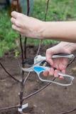 Beschneidung von Baumsämlingen nachdem dem Pflanzen stockfotos