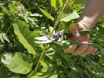 Beschneidungsbäume, interessierend für die Gartenservice-Baumschere Stockfotografie