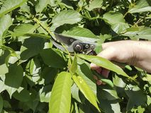 Beschneidungsbäume, interessierend für die Service-Jahreszeitbaumschere des Gartens im Freien Stockfotografie