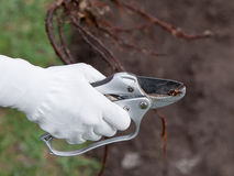 Beschneidungswurzelsämlinge bevor dem Pflanzen lizenzfreies stockbild