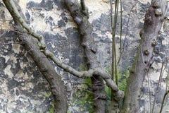 Beschnittene Baumbrunchs gegen Steinwand im Winter Lizenzfreie Stockfotos