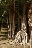 Beschnittene Wurzeln des Ficus Formen schaffend, die einem Stuhl ähneln lizenzfreies stockbild