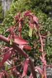 Beschorneria yuccoides开花 免版税库存照片