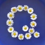 Beschriften Sie Q von den weißen Blumen, Gänseblümchen, Bellis perennis, Nahaufnahme, auf blauem Hintergrund Stockfoto