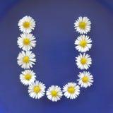 Beschriften Sie U von den weißen Blumen, Gänseblümchen, Bellis perennis, Nahaufnahme, auf blauem Hintergrund Stockfoto
