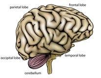 Beschriftetes Diagramm des Gehirns Anatomie Stockfotografie