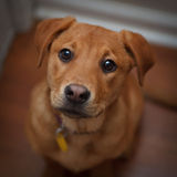 Beseeching Eyes Of Loyal Dog Stock Images