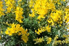 Besen-Blumen Stockfotografie
