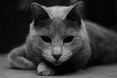 Besessene Katze stockbilder