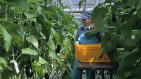 Besetzen Sie reife Aubergine der Gewächshausernten auf einer Laufkatze mit Personal Ein Angestellter eines landwirtschaftlichen U stock video