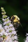 Besetzte Biene Stockfotos