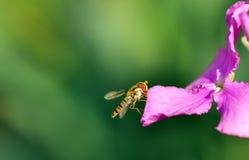 Besetzte Biene Stockfotografie