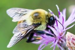 Besetzte Biene Stockbild