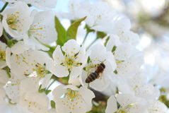 Besetzte Biene Stockbilder