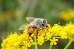 Besetzte Biene auf Blume Stockfotografie