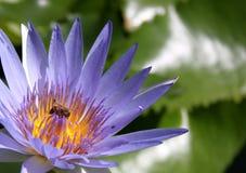 Besetzte Biene auf einer Lotos-Blume Stockbilder