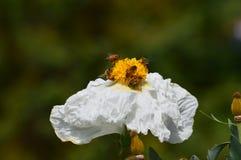 Besetzte Bienen lizenzfreie stockfotos