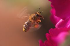 Besetzte Honigbiene Stockfoto