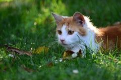 Besichtigt wilder Bonbon white&red Katze Garten lizenzfreies stockfoto