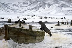 A sea lion on the wreckage of a wooden ship.Antarctica royalty free stock photo