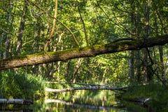 Besiegte Bäume auf einem Nebenfluss stockbilder