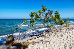 Besiegter Baum auf Ufer der Ostsee Stockfotografie