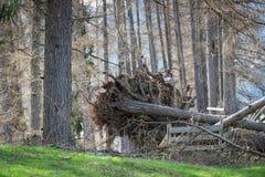 Besiegter Baum mit Wurzeln Lizenzfreie Stockbilder