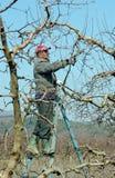 Beskära äppleträdet Fotografering för Bildbyråer