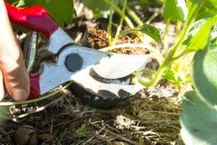 Beskära av att kärna ur med trädgårds- sax Royaltyfri Foto