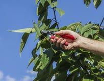 Beskära det körsbärsröda trädet Royaltyfri Bild