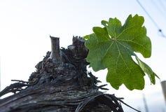 Beskära för druvaträd Beskurit och klippt för att tillväxt ska skörda royaltyfria foton