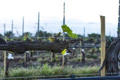 Beskära för druvaträd Beskurit och klippt för att tillväxt ska skörda royaltyfri bild