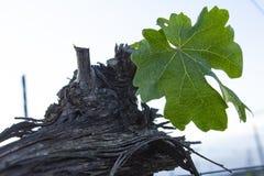 Beskära för druvaträd Beskurit och klippt för att tillväxt ska skörda royaltyfria bilder