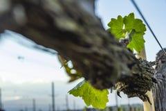 Beskära för druvaträd Beskurit och klippt för att tillväxt ska skörda arkivfoton