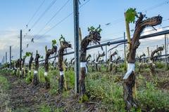 Beskära för druvaträd Beskurit och klippt för att tillväxt ska skörda sikt på kal vintervingård, når att ha beskurit royaltyfri bild