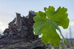 Beskära för druvaträd Beskurit och klippt för att tillväxt ska skörda sikt på kal vintervingård, når att ha beskurit royaltyfria bilder