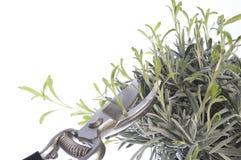 beskära för växter Fotografering för Bildbyråer