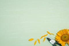 Beskära sax med solrosen på gräsplan Royaltyfria Bilder