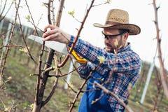 Beskära trädet i päronfruktträdgård, bonde som använder handsawhjälpmedlet arkivbilder