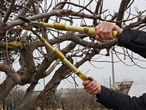 Beskära tree Royaltyfria Foton