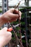 beskära tree för persika Arkivbild