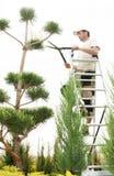 Beskära växter tätt upp Yrkesmässiga trädgårdsmästarePruning barrträd Arkivfoto