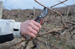 Beskära vines royaltyfri bild