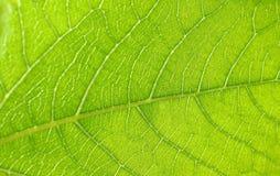 Leafen texturerar Royaltyfri Fotografi