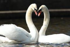 Stumma swans. arkivbilder