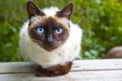 Beskåda den Siamese katten Arkivfoton