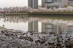 Beskåda från under bron för det Sakura trädet (körsbärsröd blomning) i S Arkivbilder