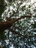 Beskåda från under ett gammalt regnträd royaltyfria bilder