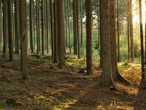Beskåda i solig sommarskog Arkivbild