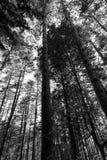 Beskåda underifrån av högväxta träd i ett trä Royaltyfri Foto